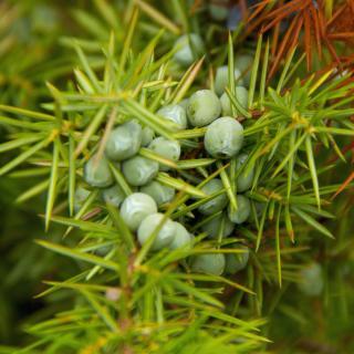 Juniper branch with green berries