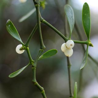 Sprigs of Mistletoe dangling from above, with berries.