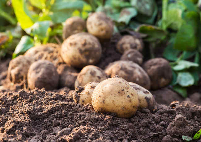 Potato, how to grow a bushel
