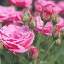rose-trees-roses