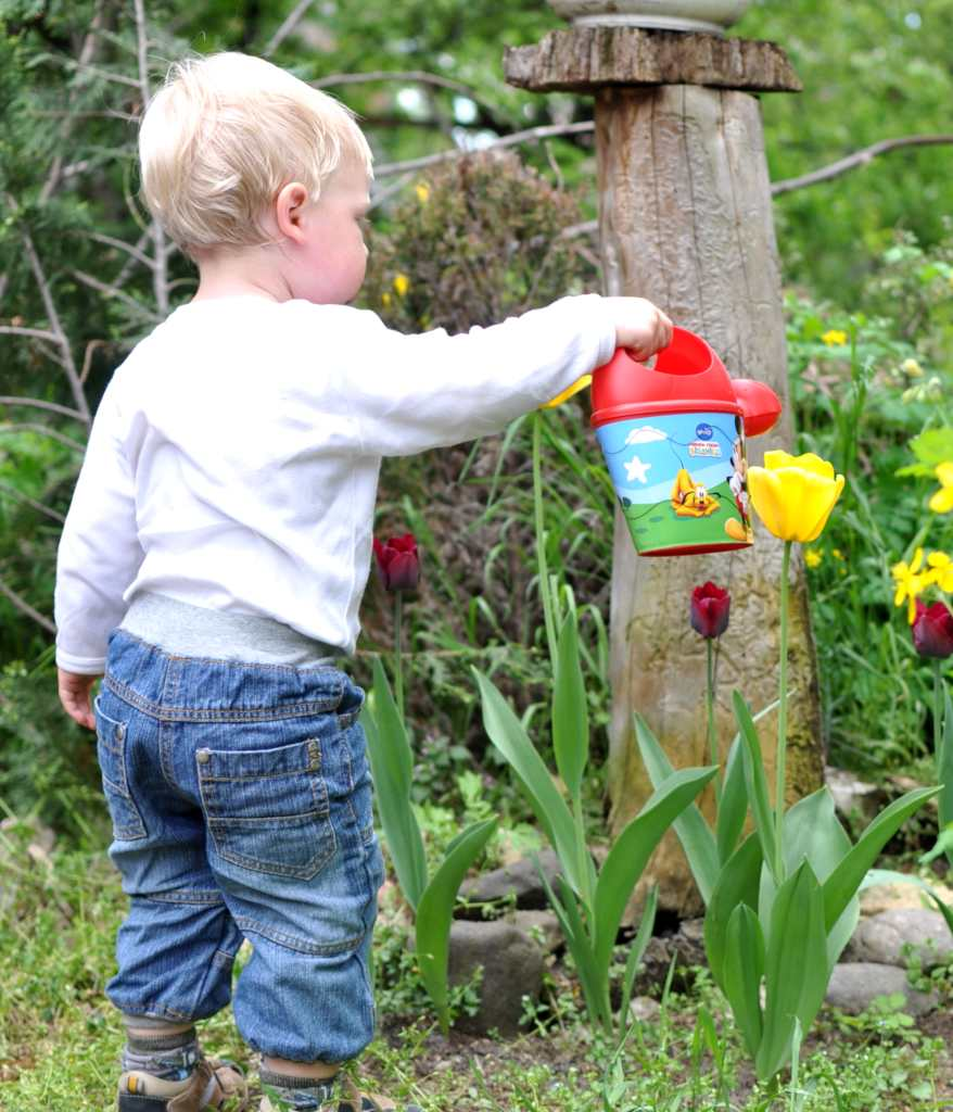 Toddler watering tulips.