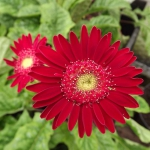 Beautiful dark pink maroon 'Fleurie' Gerbera garvinea flower in full bloom