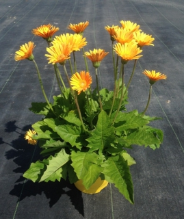 Beautiful potted yellow-flowered Gerbera garvinea 'Sweet honey' variety on a stone-tiled terrace