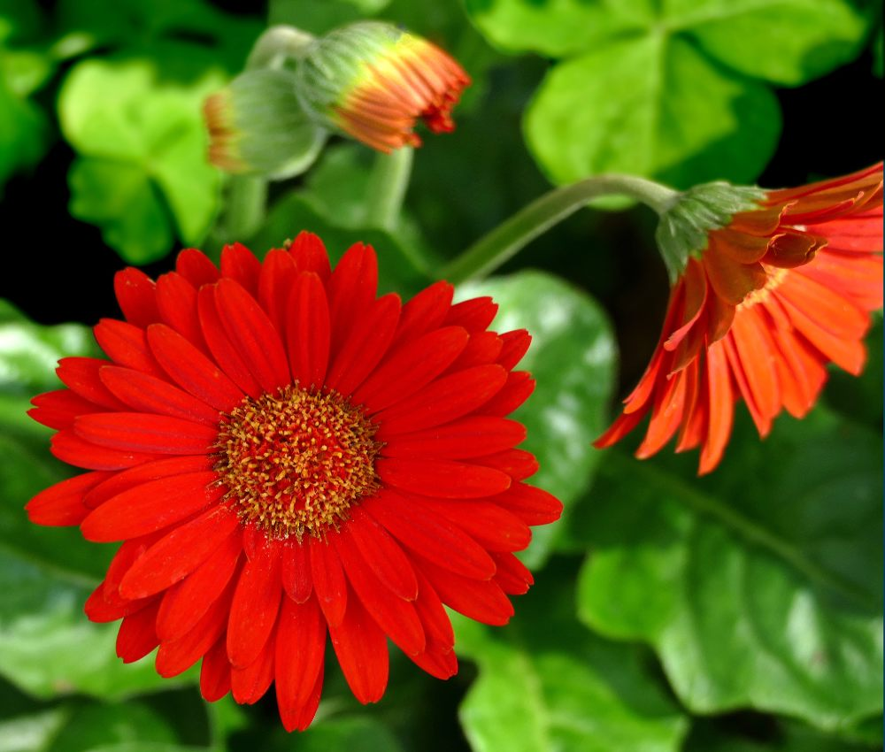 How to care for room gerbera