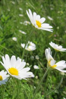 White anthemis flowers in a field.