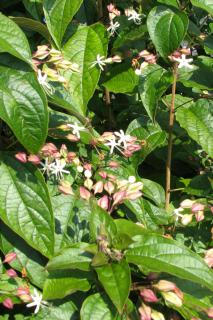 Clerodendron flowers bloom in two stages.