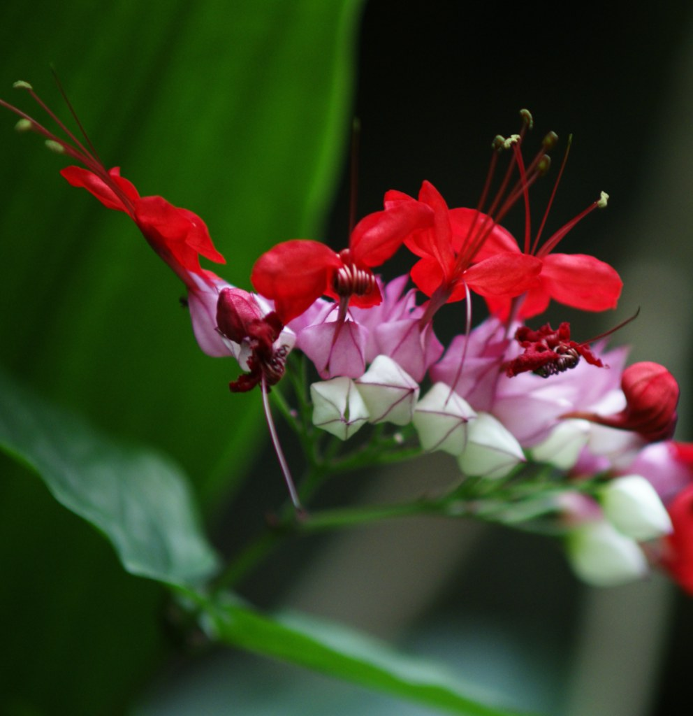 Clerodendron, a cute decorative plant