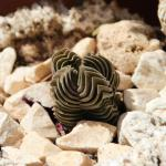 Tiny specimen of Crassula Buddha's temple in pot with white gravel.