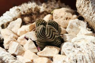 Tiny specimen of Crassula Buddha's temple in pot with white gravel.