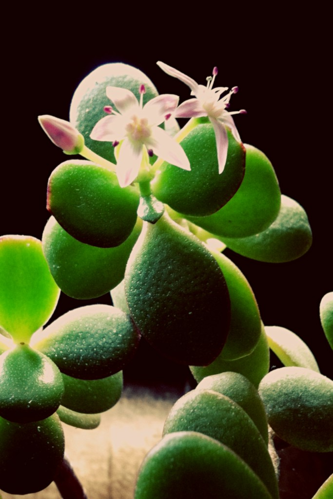 Flowering crassula ovata with a black background