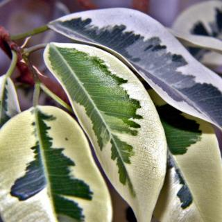A variegated ficus tree