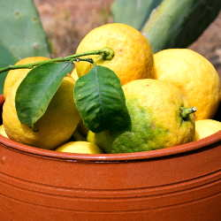 Lemon harvest in terra cotta pot