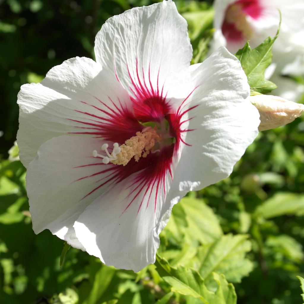 Hibiscus Care: Planting, Care And Trimming The Althea