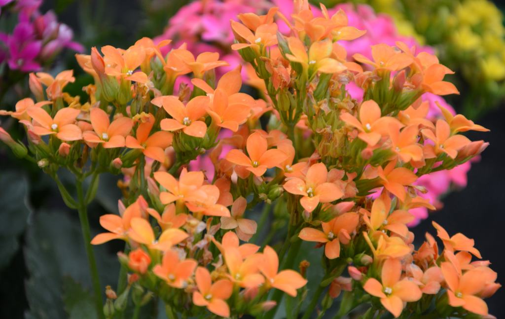 Orange and pink kalanchoe flowers