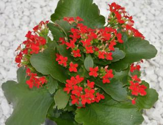 Red-flowered kalanchoe plant with deep green leaves on white gravel.