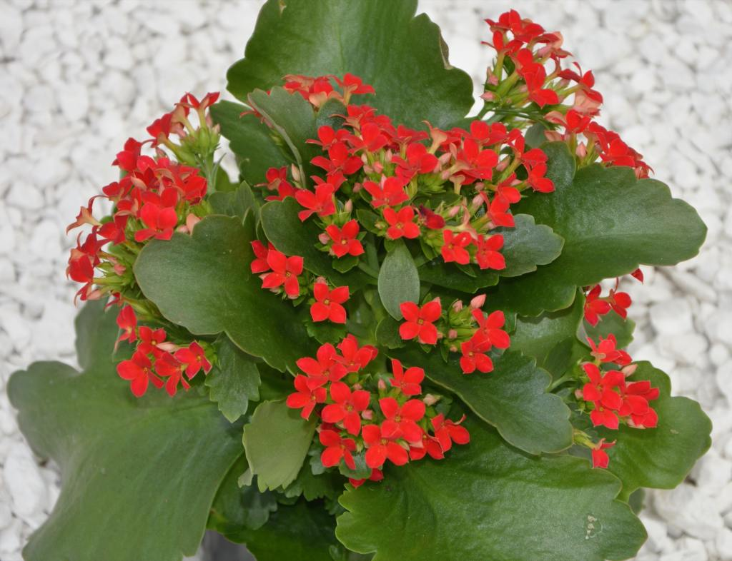 """Picture of Live Kalanchoe Red Plant Fit 4"""" Pot"""