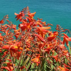 Beautiful clump of wild montbretia with the sea as a backdrop