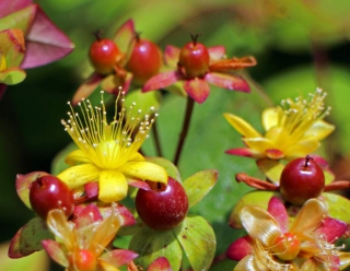 Yellow, long-stamened flowers grow together with fruits that start forming in a st johns wort shrub.