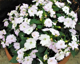 A Compact White sunpatiens growing in a pot