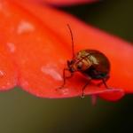 Electric orange sunpatiens flower visited by a harmless cucurbit leaf beetle