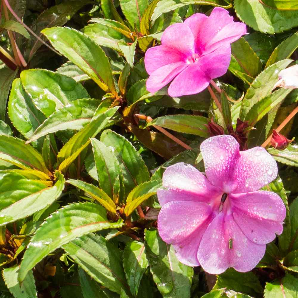 Sunpatiens, a touch-me-not for the sun