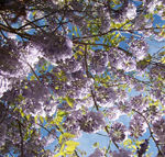 wisteria flowers from below