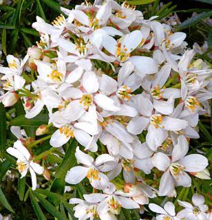 Flower cluster on an Aztec Pearl Choisya ternata
