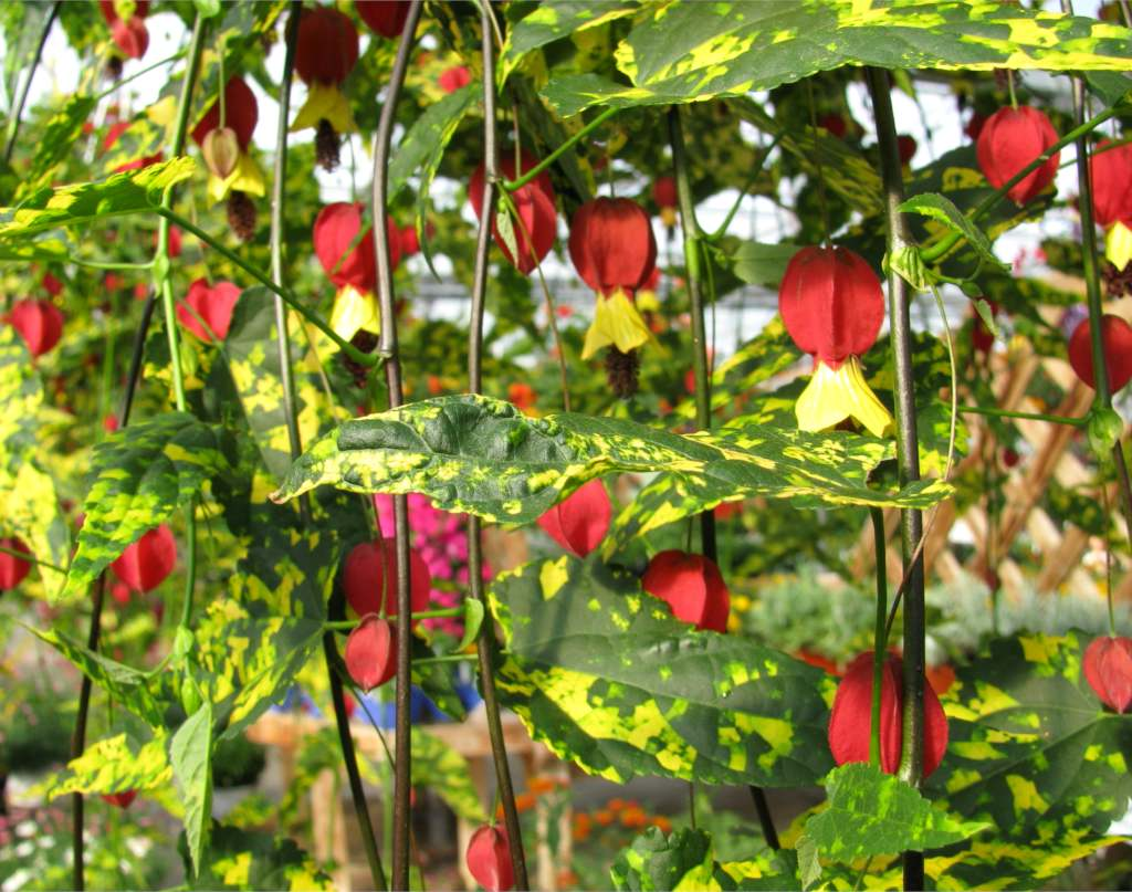 Abutilon Tips And Guidance For The Best Possible Care Avoid Windy