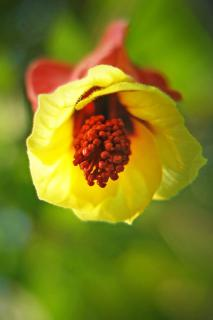 View of a single abutilon flower as seen from below with yellow petals.