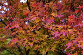 Fall leaves start turning red on a lush Acer palmatum.
