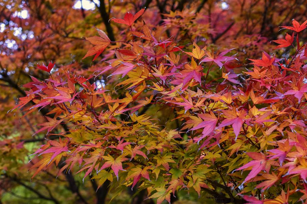 Japanese Maple Planting Pruning And Advice On Caring For It