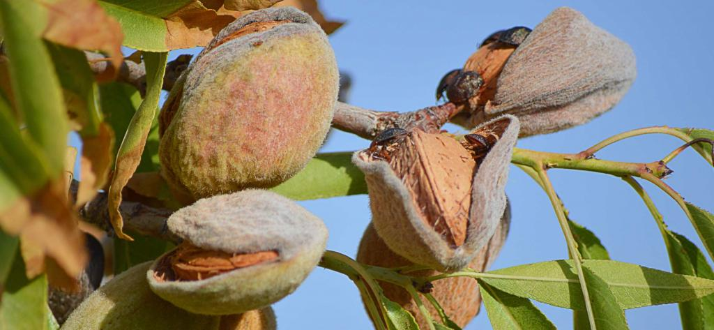 Sweet almond benefits, fruits hanging from a tree