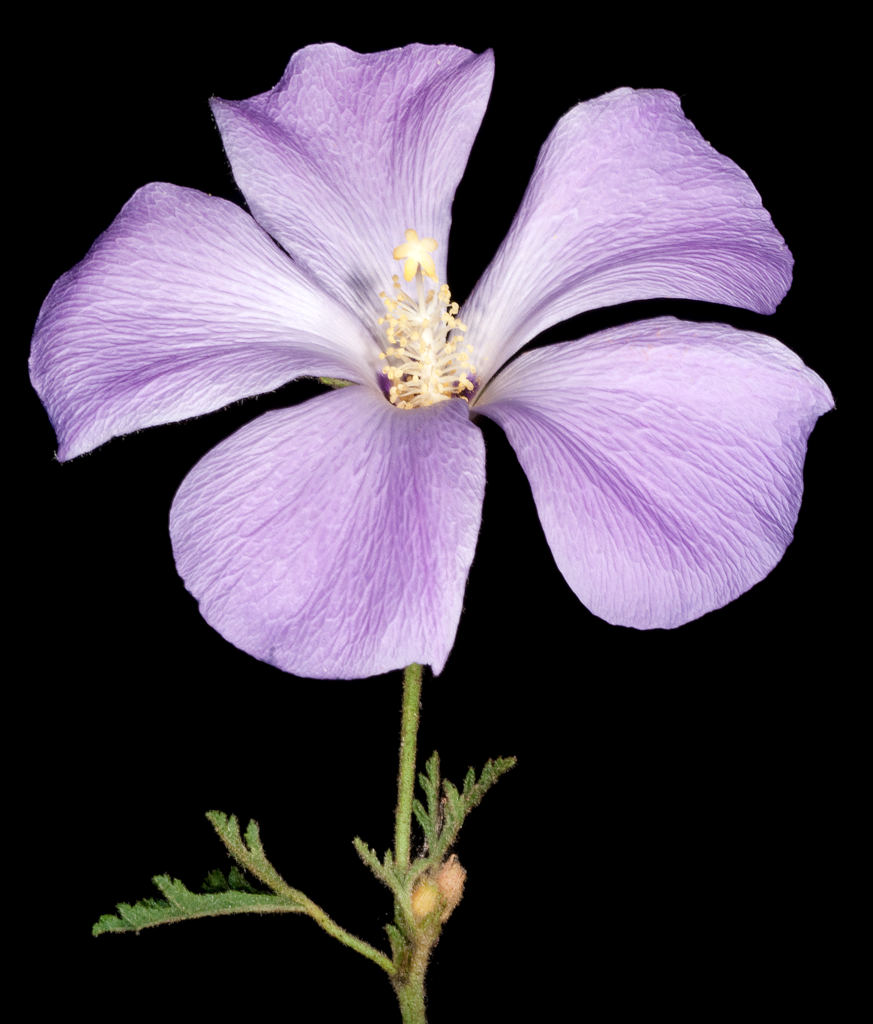A single mature alyogyne flower against a black background.