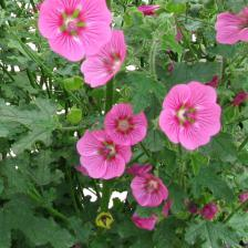 Cape mallow, all about caring for Anisodontea