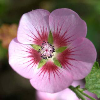 Pink anisodontea flower, close-up.
