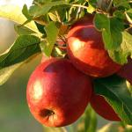 Ripe red apples on a branch of a planted tree.