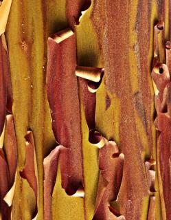 Bark of the arbutus unedo tree.