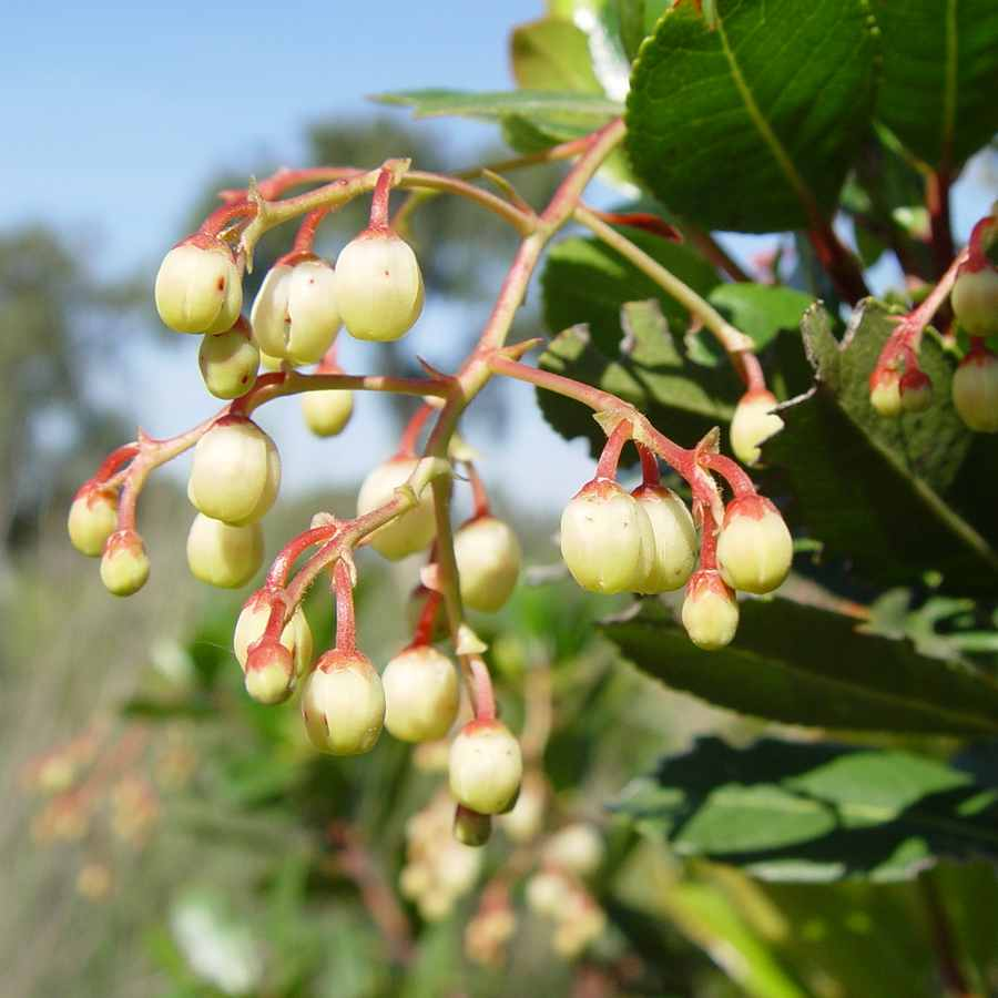 A bunch of Arbutus unedo flowers hanging on the tree