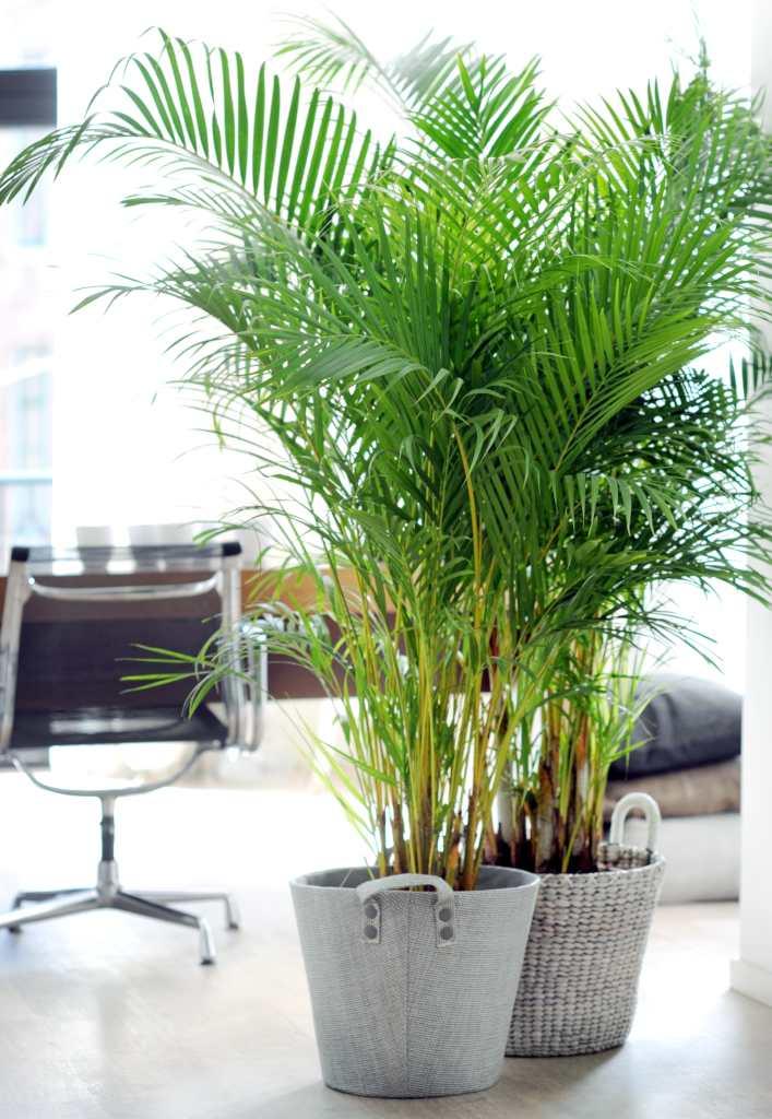 Areca, a cute indoor palm tree