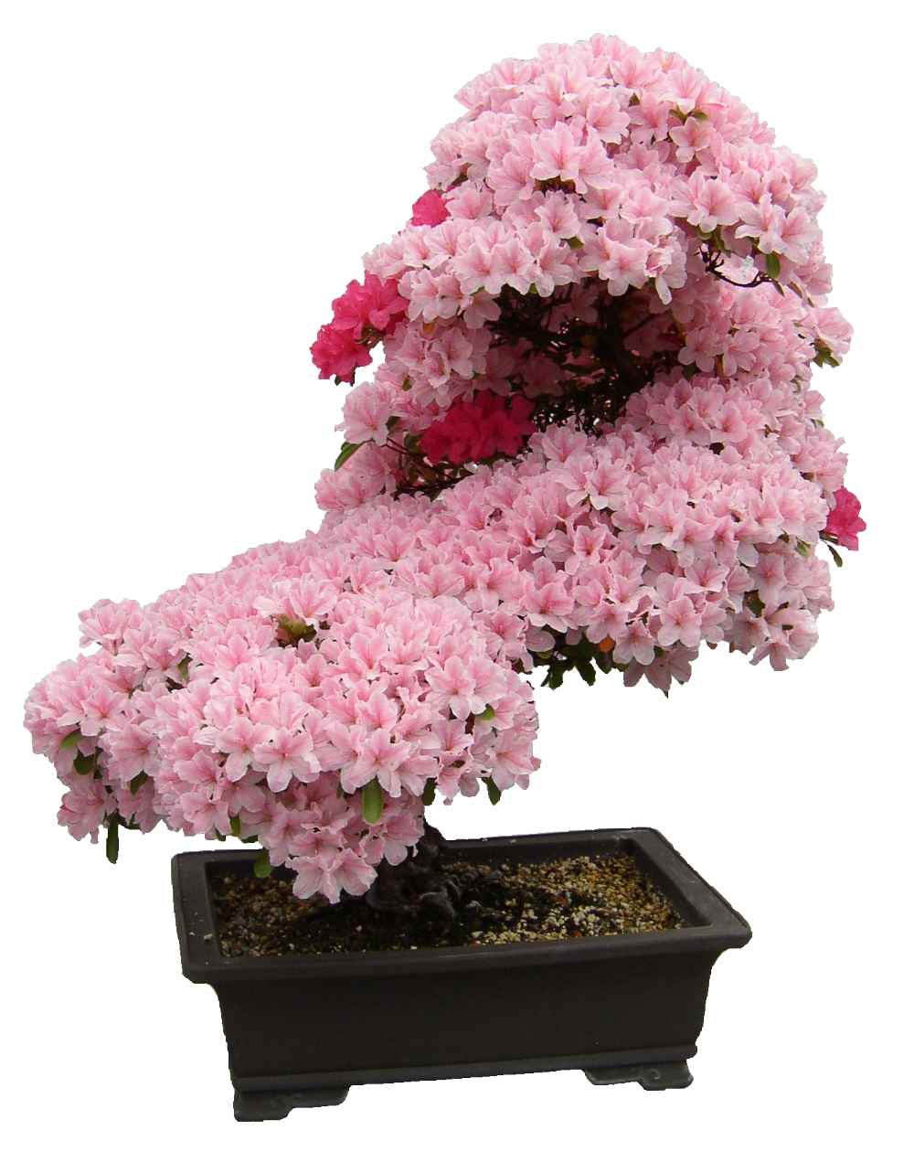 Azalea Japonica Planting Pruning Soil Care And Tips On Bonsai Making