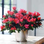 Pink blooming Azalea japonica in a tin pot set on a table