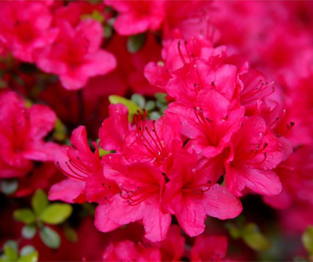 Azalea japonica, the Japanese azalea