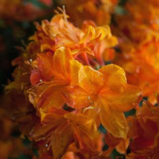 Orange blooms on an azalea