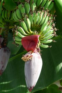 Flower and fruit of the banana tree.