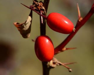 Two plump, ripe red barberry berries with a few nice sharp thorns to boot.