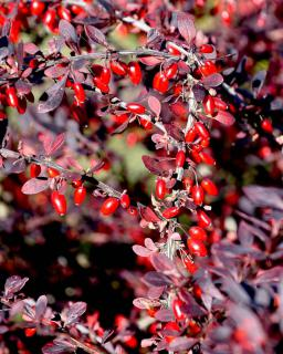 Autumn colors for barberry are deep red and fruits stand out in bright red.