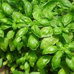 Lush green basil leaves covering a garden bed.