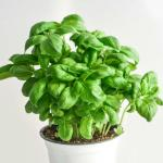 Basil growing in a pot.
