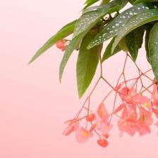 Tamaya, Begonia maculata