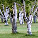 Older specimens of birch pruned to branch out low on a lawn.